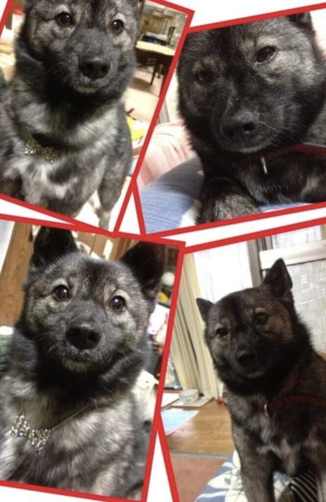 芳根京子さんのペットの犬のくま子